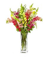 8 assorted colour snapdragons with fresh greens