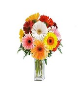10 large assorted colour gerbera daisies. Measures approximately 16
