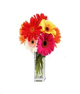 6 large beautiful assorted colour gerbera daisies