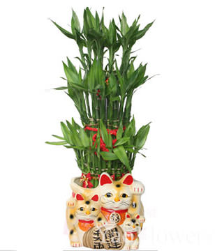 Send FENGSHUI PLANTS,GONG XI FA CAI PLANTS,Wealth opened