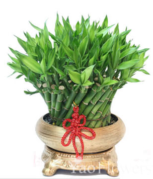 FENGSHUI PLANTS,GONG XI FA CAI PLANTS,Wealth opened games bamboo.40CMX30CM