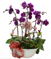 Giant treasure orchid. small potted. jewelry