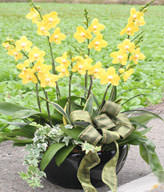 Yellow Orchids.Congratulation. Birthday,The New Opening,Moving,Advance In Office, Being Promoted. Wedding Ceremony