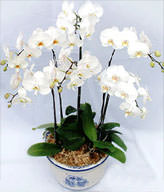 Six White Orchids