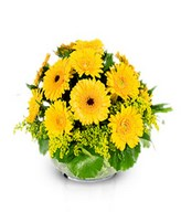 Splendor: yellow gerberas