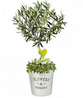 Miniature Olive Tree: Symbol of Peace