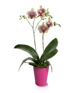 Exquisiteness Personified: Exotic Tiger Orchid