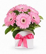 baby pink Gerbera In box