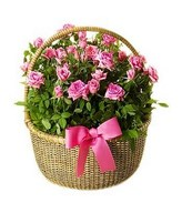 Bunch of Mini roses arrange in a basket with pink ribbon