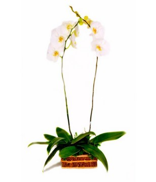 2 Stalks of Phalaenopsis Orchids in a Pot
